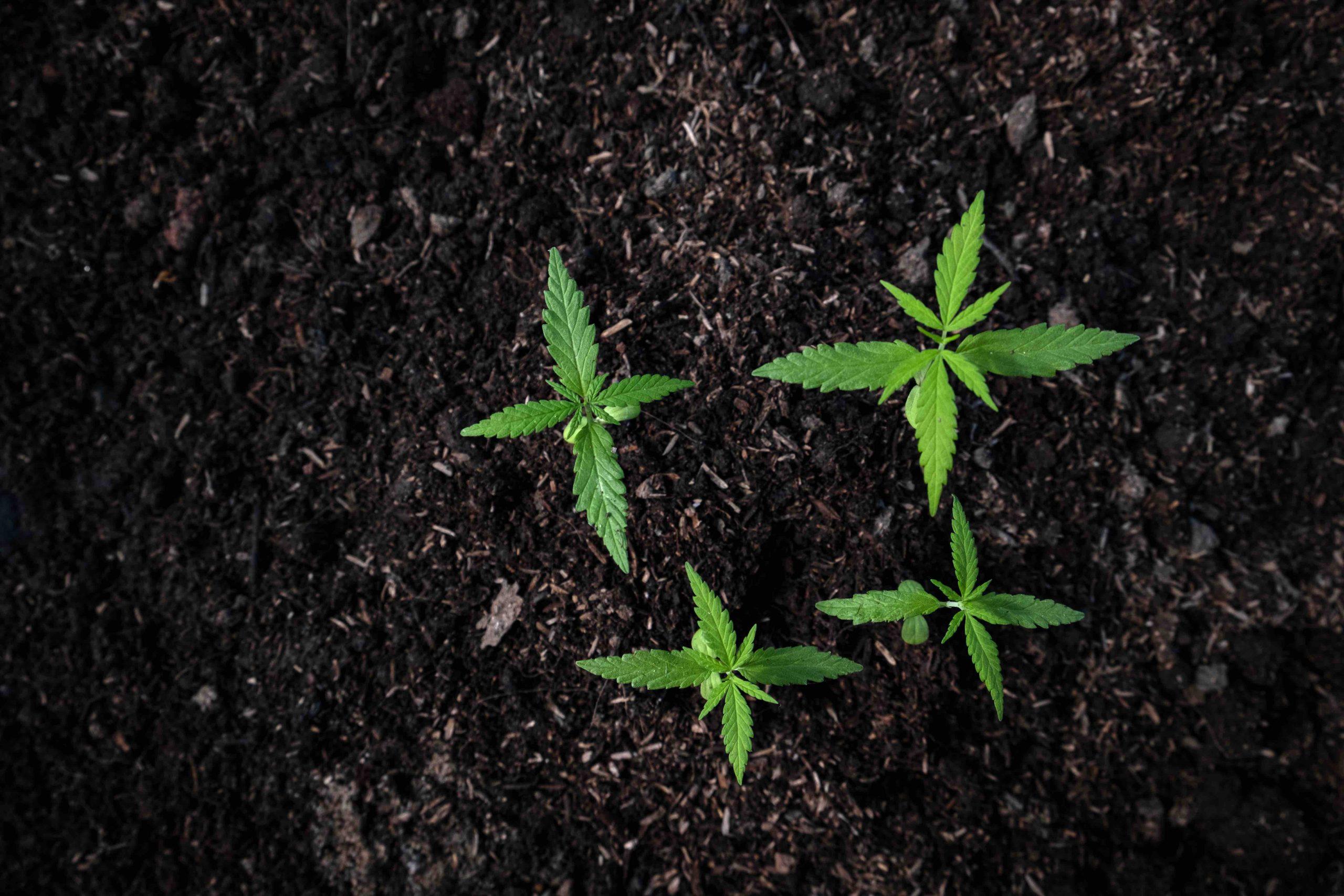 Hemp plants sprouting leaves